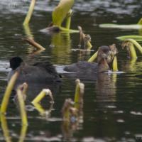 American Coot and Pied-billed Grebe