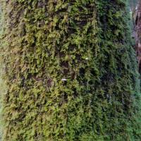 20071104-cedar_isothecium-1.jpg