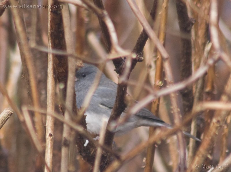 20071106-dark-eyed_junco-3.jpg