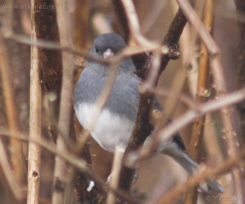 20071106-dark-eyed_junco-4.jpg