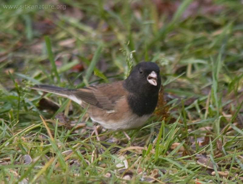 20071106-dark-eyed_junco-5.jpg