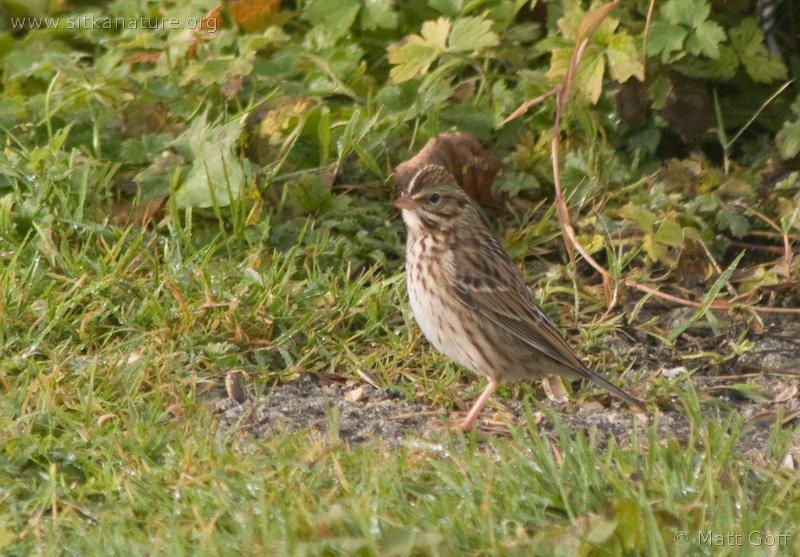 20071106-savannah_sparrow-3.jpg