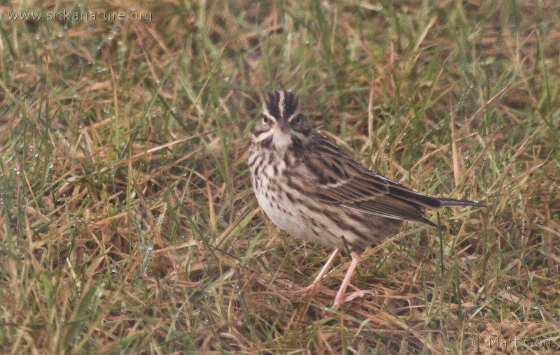 20071106-savannah_sparrow-4.jpg