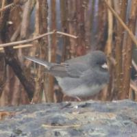 20071106-dark-eyed_junco-1.jpg