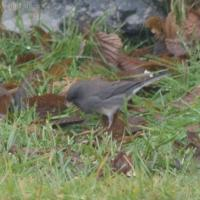20071106-dark-eyed_junco-2.jpg