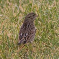 20071106-savannah_sparrow-1.jpg