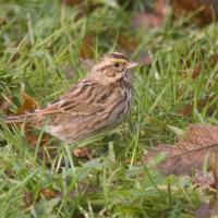 20071106-savannah_sparrow-2.jpg