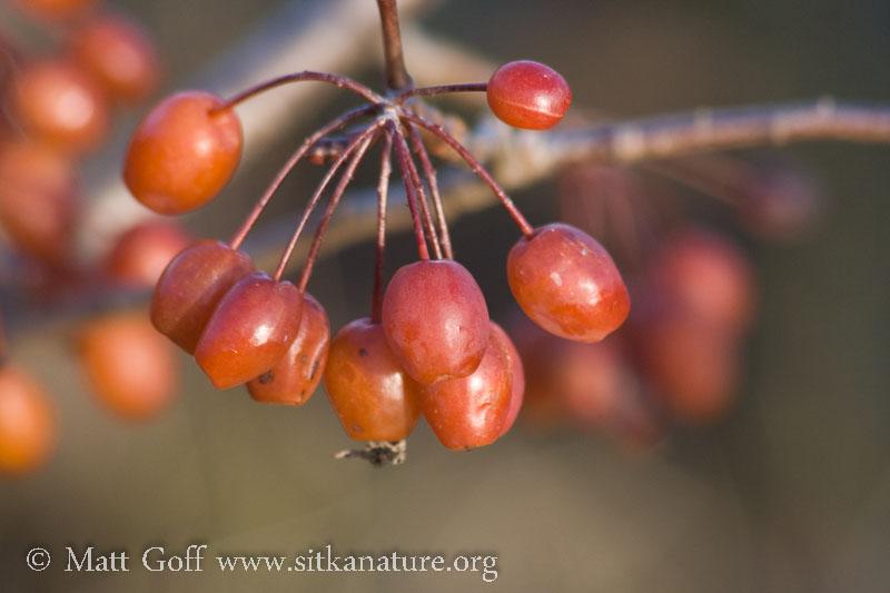 Pacific Crabapple (Malus fusca) Fruit