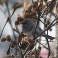 20071107-dark-eyed_junco-1.jpg