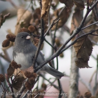 20071107-dark-eyed_junco-2.jpg