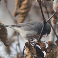 20071107-dark-eyed_junco-3.jpg
