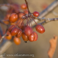 Pacific Crabapple (Malus fusca) Fruit