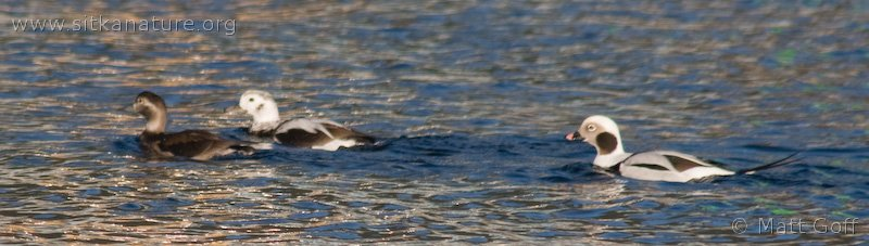 20071108-long-tailed_duck.jpg