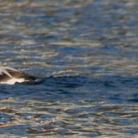 20071108-long-tailed_duck.jpg