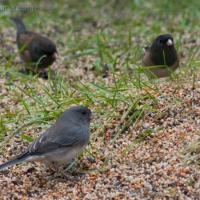 Dark-eyed Juncos (Junco hyemalis)