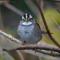 White-throated Sparrow (Zonotrichia albicollis)