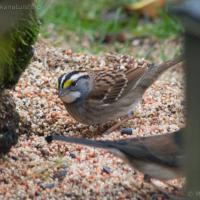 20071109-white-throated_sparrow_feeder.jpg