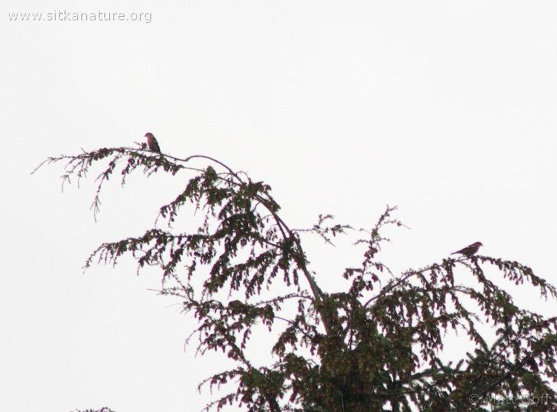 20071114-white-winged_crossbill.jpg