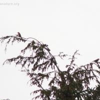 20071114-white-winged_crossbill.jpg