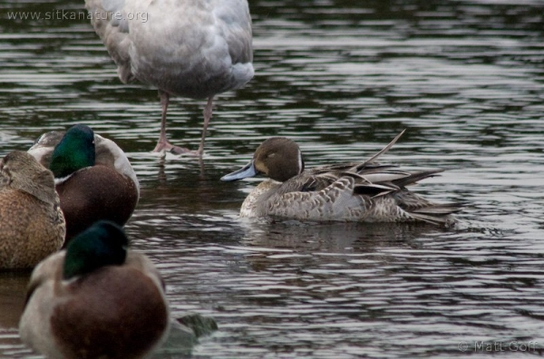 20071116-northern_pintail.jpg