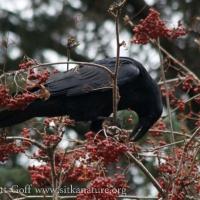 20071121-raven_mountain_ash-1.jpg