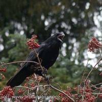 Raven in Mt. Ash