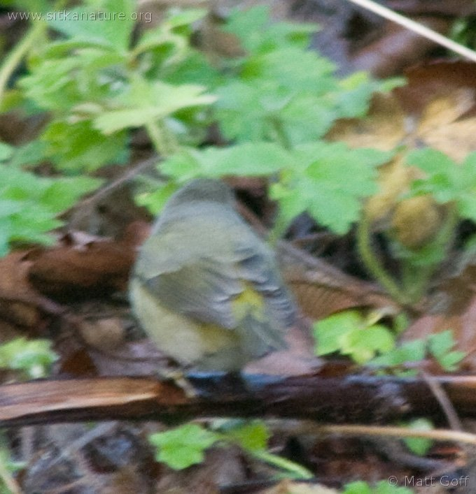 20071124-warbler-1.jpg