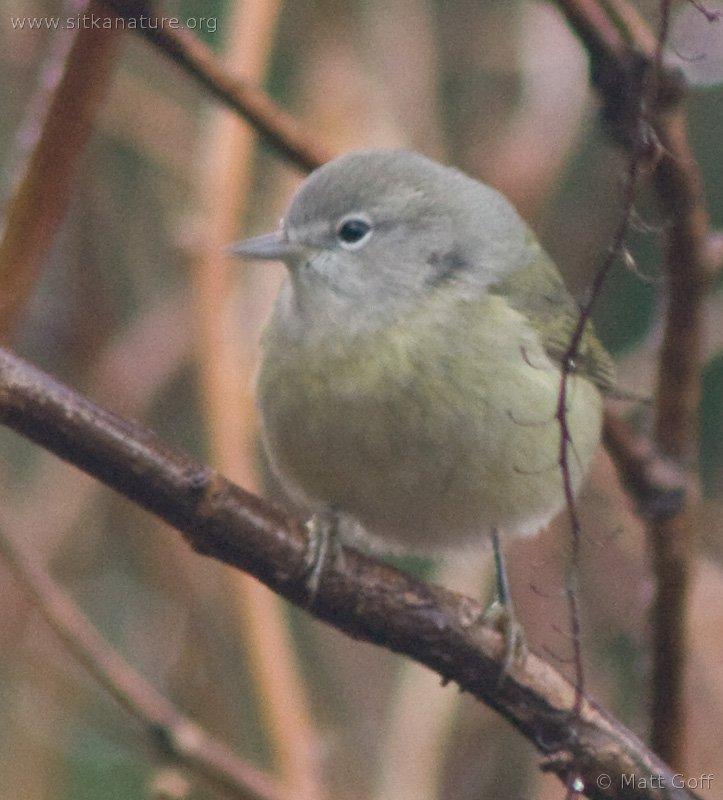20071124-warbler-14.jpg