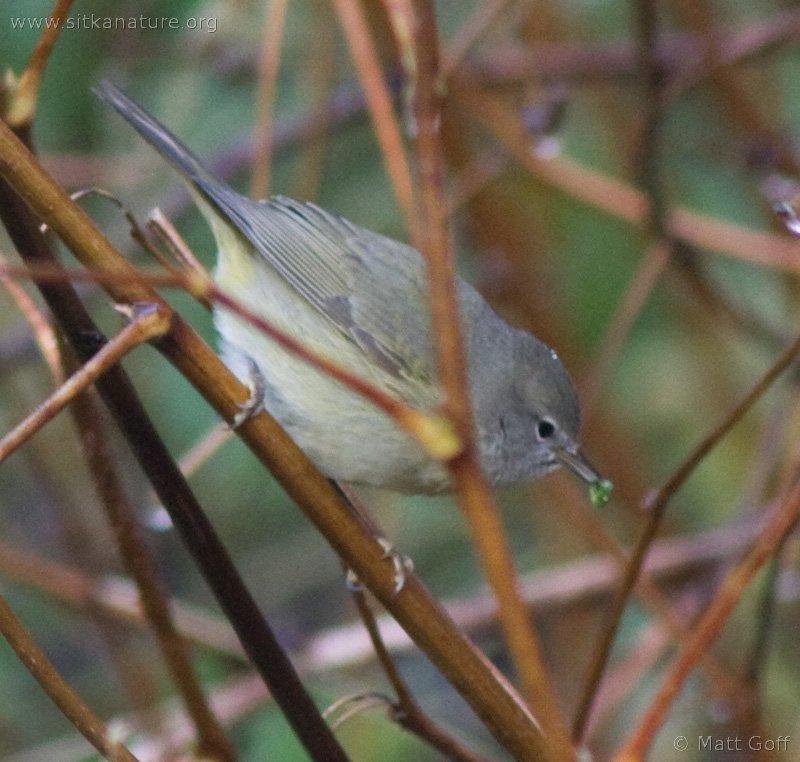 20071124-warbler-16.jpg