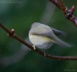 20071124-warbler-6.jpg