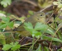 Orange-crowned Warbler (Vermivora celata)