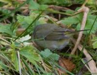 20071124-warbler-11.jpg
