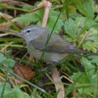 20071124-warbler-10.jpg