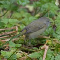 20071124-warbler-12.jpg