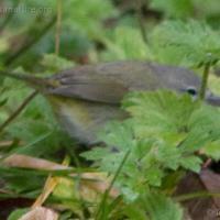 20071124-warbler-13.jpg