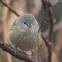 20071124-warbler-15.jpg