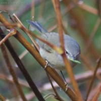 20071124-warbler-17.jpg