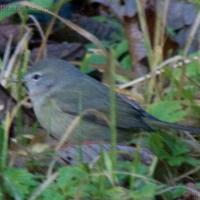 20071124-warbler-2.jpg