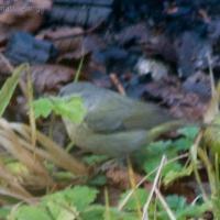 20071124-warbler-3.jpg