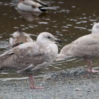 Juvenile Gull (Larus sp.)