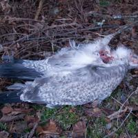 Gull Remains (Larus sp.)