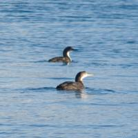 Common and Pacific Loon (Gavia spp)