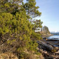Shore  Pine (<em>Pinus contorta</em>)