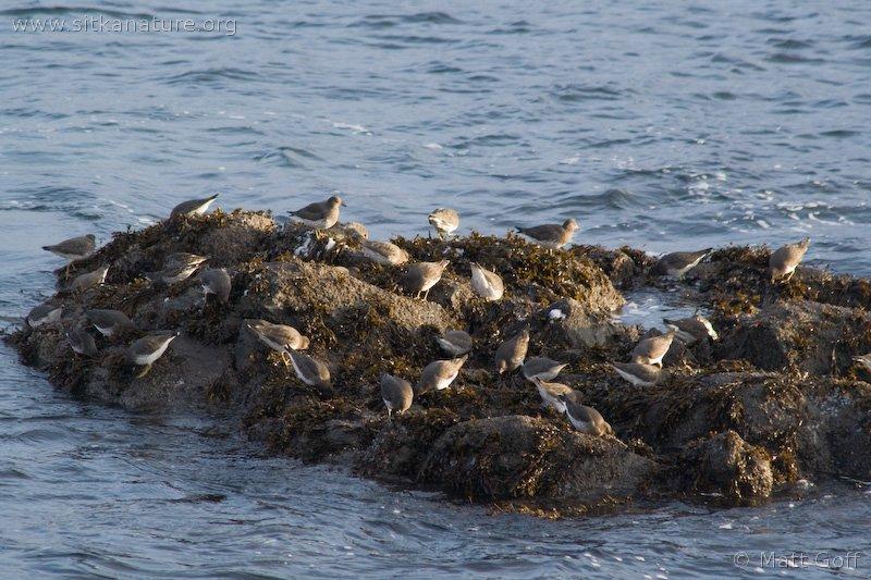 Surfbirds (Aphriza virgata)