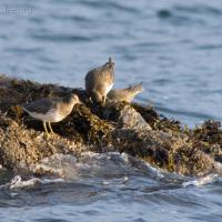 Surfbirds (Aphriza virgata)