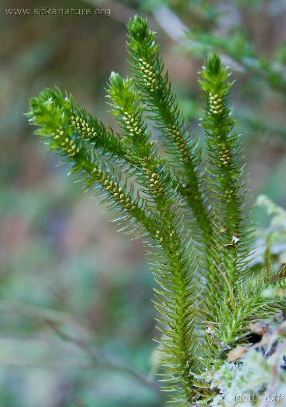 Pacific Fir-moss (Huperzia miyoshiana)