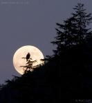 Bald Eagle and Moon Rise