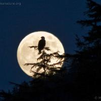 Bald Eagle and Moon Rise
