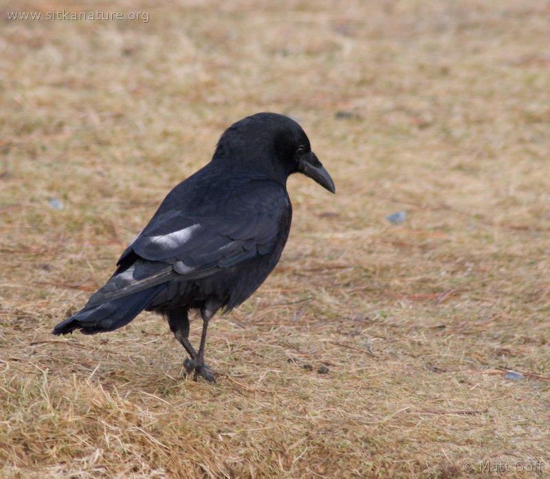 Northwestern Crow (Corvus caurinus)