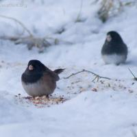 Dark-eyed Juncos (<em>Junco hyemalis</em>)